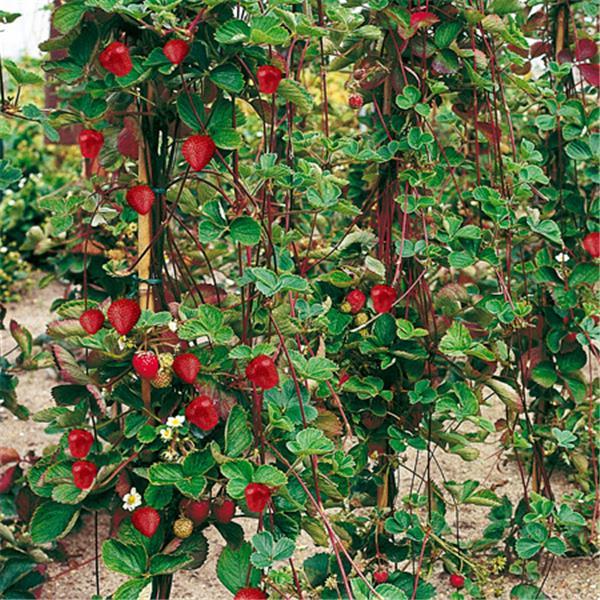 fraisier mount everest c2 pc central jardin. Black Bedroom Furniture Sets. Home Design Ideas