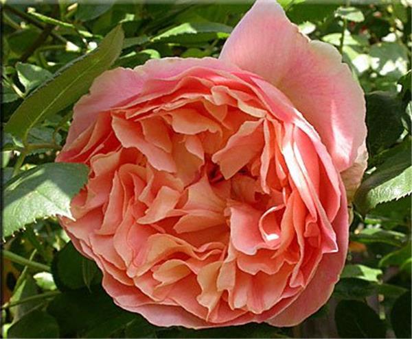 rosier papi delbard pot grimpant central jardin. Black Bedroom Furniture Sets. Home Design Ideas