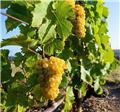 Vitis vinifera Phoenix Pot C2 ** Résistant aux maladies **