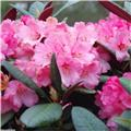 Rhododendron Wine And Rose 50 60 Pot C5 ** Feuillage décoratif **