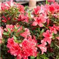 Azalea japonica Encore® Sunset Pot C4