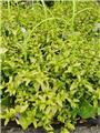 Ceanothus thyrsiflorus African Queen Pot C.4L** Feuilles dorées peristantes **