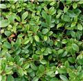 Cotoneaster dammeri Major Pot C1.5
