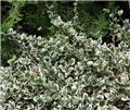 Euonymus fortunei Emerald Gaiety Pot P15