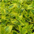 Euonymus fortunei Emerald Gold Pot C2