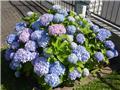 Hydrangea mac Endless Summer Bloomstar Bleu Pot P23 - C5L