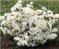 Azalea japonica Palestrina 60 80 CM Pot C12