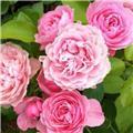 Rosier Meilove Rose Pot