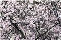 Amandier Prunus dulcis Buisson Pot