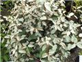 Elaeagnus ebbingei Haute Tige 8 10 Pot C20
