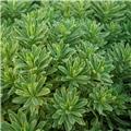Euphorbia characias Silver Swan Wilcott ®