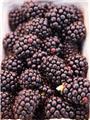 Rubus fruticosa Navaho ** Murier sans épines **