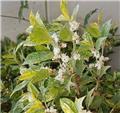 Osmanthus heterophyllus Tricolor 50 60 Pot