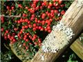 Cotoneaster microphyllus Queen of Carpet Pot P9