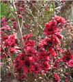 LEPTOSPERMUM scoparium Ruby glow C.2L RC