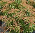 Pieris japonica Brouwers Beauty 60 70 Pot P27