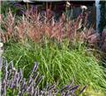 Miscanthus sinensis Red Chief P17 - C2