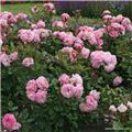 Rosier Parfuma® Mme de Maintenon C.4L