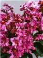 Lagerstroemia indica Rhapsody In Pink sur Tige 90 cm Pot C10