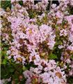 Lagerstroemia indica With Love Babe 60 80 cm Pot C5L