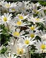 Anemone blanda Splendour * 10 pc cal.5/7