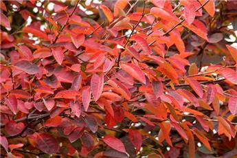 Amelanchier lamarckii Multi-tronc 350 400 Pot C150 ** Grosse plante exceptionnelle **