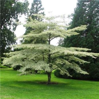 Cornus alternifolia Argentea 175 200 Pot C50