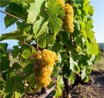 Vitis vinifera Phoenix  Pot C2.7 **Résistant aux maladies**