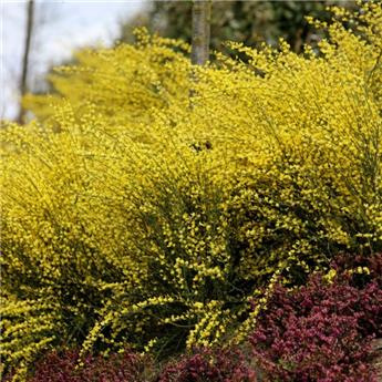 Cytisus scoparius Golden Sunlight Pot C3