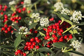 Skimmia japonica Nymans 50 60 XXL Pot ** Forte plante **