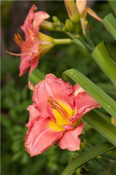 Hemerocallis hybride South Seas C2
