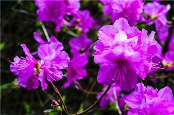 AZALEA japonica Amoena (rose pourpre) C.5L RC