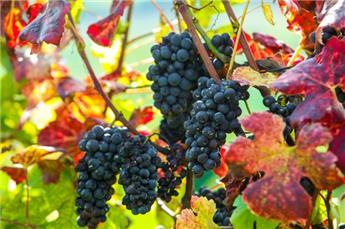 Vitis vinifera CABERNET -pied de 10 ans