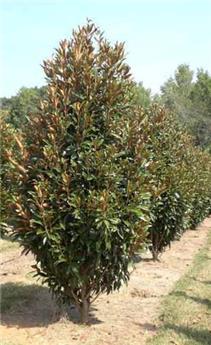 Magnolia grandiflora Alta Pot C8