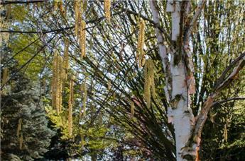 Betula albosinensis Fascination Multitroncs 300 400