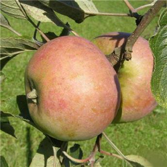 Pommier Teint Frais Buisson Pot C10 ** Variété résistante aux maladies et au froid * **