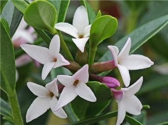 Daphne tangutica 25 30 Pot C3 ** Parfumé **