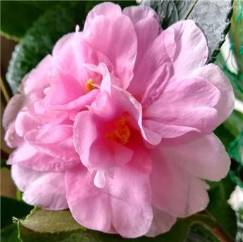 Camellia sasanqua Showa No Sakae C7.5 ** 7 ans d´âge **