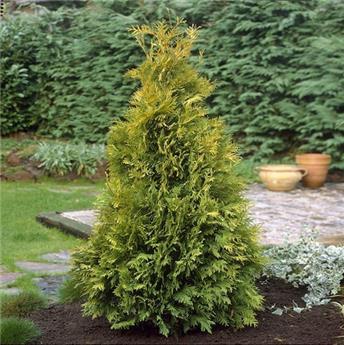 Thuja occidentalis Sunkist Pot C2