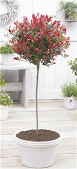 Photinia fraseri Little Red Robin Demi Tige Pot C15