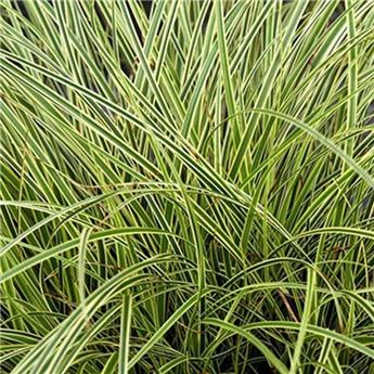 Carex brunnea Variegata P14