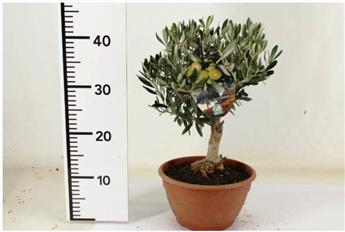 Olea europeana 50cm  Mini Soucoupe