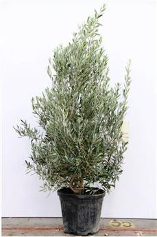 Olea europaea Bonzai XXL Tronc 100-120 cm Pot C675L 100x100 **Plante d´exception**