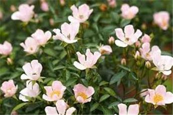 Rosier Nozomi (rose) C.5L RC