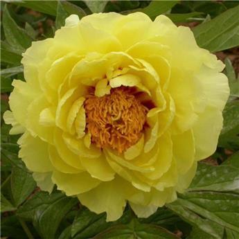 Paeonia suffruticosa Hai Huang C6 ** Pivoine arbustive **