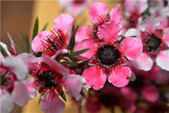 LEPTOSPERMUM scoparium Martinii C.2L RC
