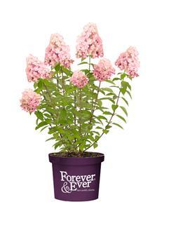 Hydrangea paniculata WHITE-PINK ForEver Pot C5