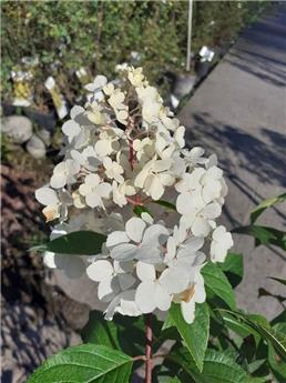 Hydrangea paniculata Forever and Ever White and Pink Pot C5L