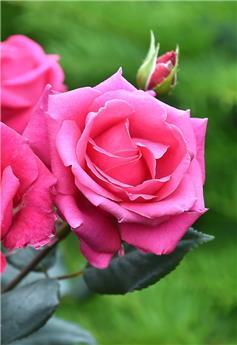 Rosier Crazy Pink Voluptia Pot C2 ** Parfum intense **