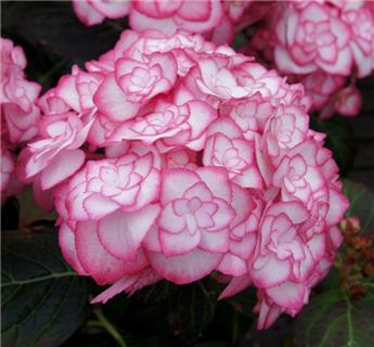 Hydrangea macrophylla Miss Saori Pot C3.6